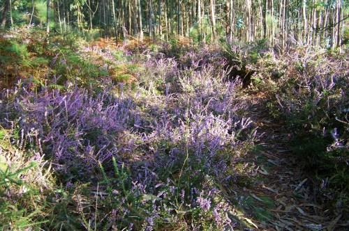 Sendeiros floridos de 'calluna vulgaris'.