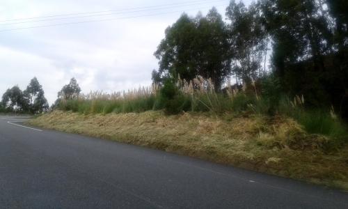 Plumeiro na estrada de San Xulián, a carón do enlace coa Variante.