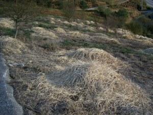Herba da Pampa queimada con herbicida.