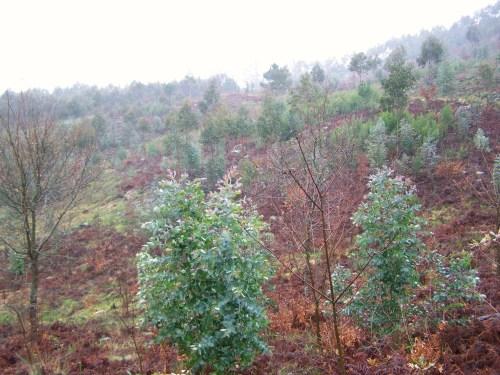 Acacias e eucaliptos invaden o bosque.