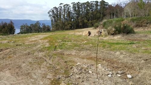 Plantación no recheo situado a carón da arboreda do Pituco.