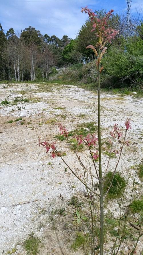 Roble americano é a especie plantada neste recheo.
