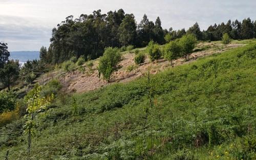 Planta da herba da Pampa trala aplicación de glifosato.
