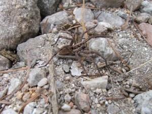 Araña (Alopecosa sp)