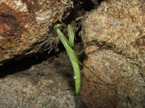 Barbantesa (Mantis religiosa)