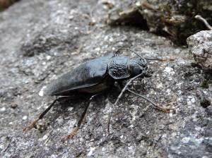 Escaravello capricornio (Cerambyx cerdo) femia