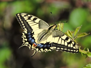 Macaón (Papilio machaon)