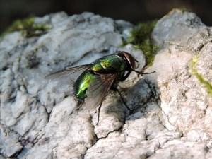 Mosca (Calliphoridae)
