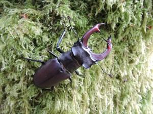 Vacaloura (Lucanus cervus) macho