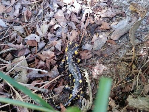 Saramaganta endémica de Tambo