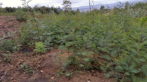 As mimosas volven medrar a pesar da limpeza realizada pola Comunidade de Montes de Salcedo.