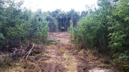 Recuperación de monte afectado por acacia e mimosa invasoras.