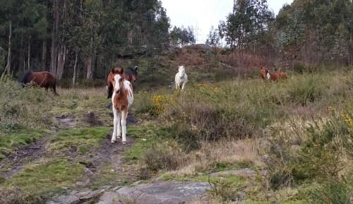 Cabalos ceibes no Monte Pituco.