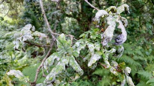 Oídio dos carballos
