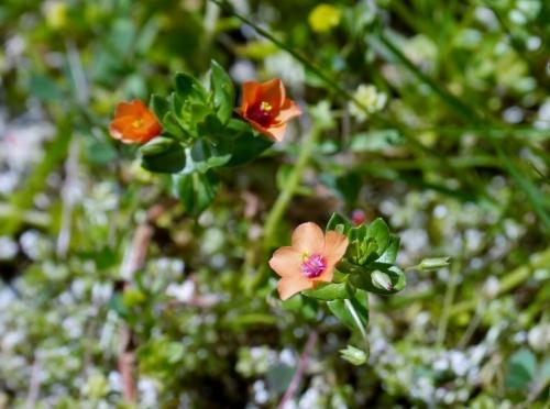 Anagallis arvensis-herba do garrotillo, herba da rabia