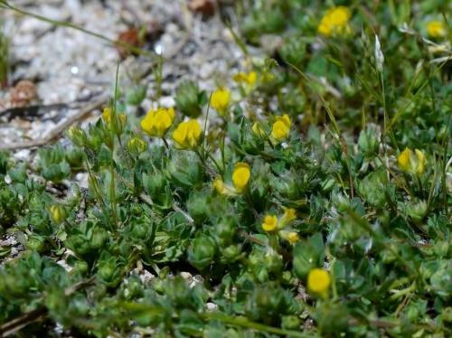 Lotus parviflorus