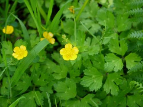Ranunculus repens-Herba do ouro, bugallón, patelo