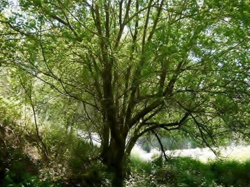 Salix atrocinerea-Salgueiro
