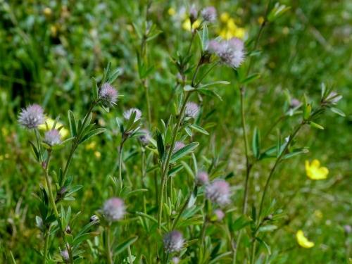 Trifolium arvense-Pe de lebre