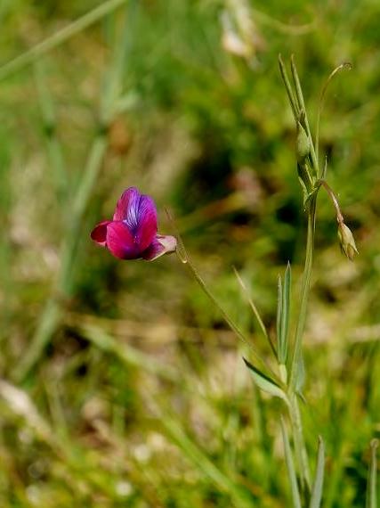 Vicia parviflora-Veza, herba da fame