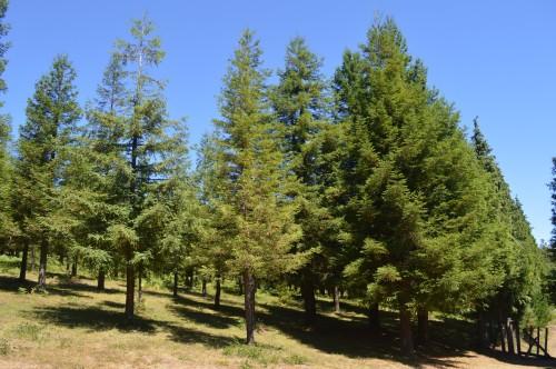 Bosque de sequoias no Monte Castrove, Poio