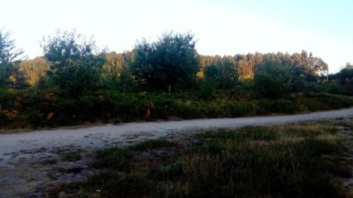 A Ruta das Mámoas de Castiñeiras, con vexetación de máis dun metro