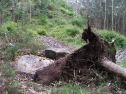 A Carrasca, círculos concéntricos descubertos baixo a raíz dun eucalipto