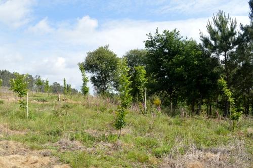 Plantación de castiñeiros que fora agredida o pasado ano.