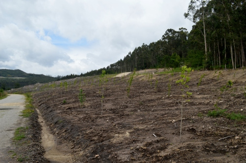 Reforestación nunha zona antigamente invadida con acacia
