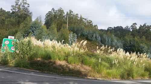 Propagación da herba da Pampa n'A Pena
