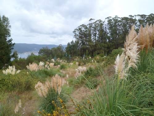 Propagación da herba da Pampa na plantación a carón da arboreda do Pituco