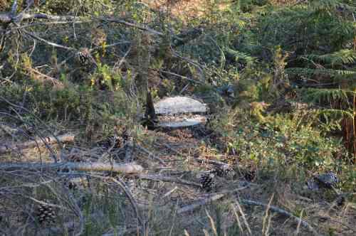 Piñeiro serrado no monte veciñal