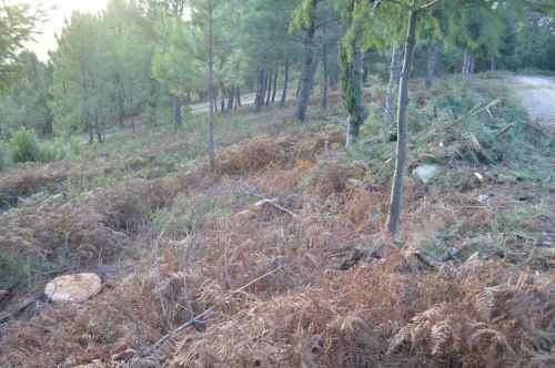 Piñeiros talados na pista forestal do Monte Pituco