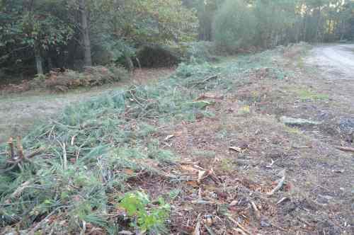 DSC_0521Piñeiros talados na pista forestal do Monte Pituco