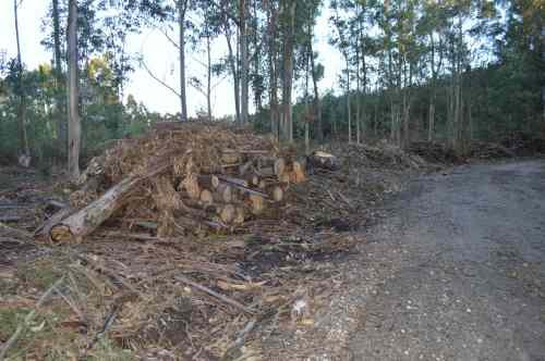 DSC_0523Eucaliptos talados na pista forestal do Monte Pituco