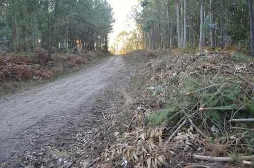 Eucaliptos talados na pista forestal do Monte Pituco