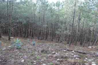 A presenza do eucalipto, en lamentable progresión