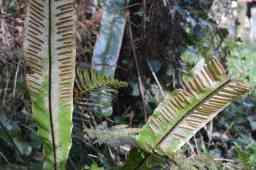 Flora do regato do lavadoiro de Lodeiro (lingua de cervo)