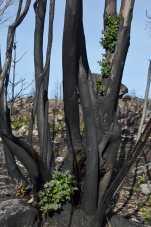 Efectos do lume nun eucalipto