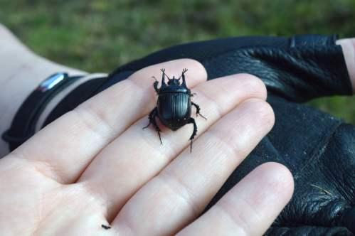 Escarabello minotauro