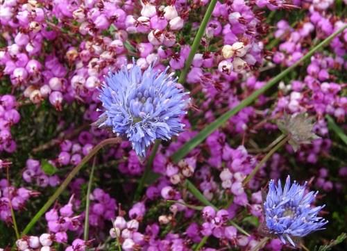 Borla azul (Jasione montana) e carrasco (Erica umbellata)