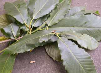 Follas de castiñeiro