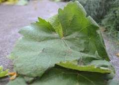 Folla de viña branca