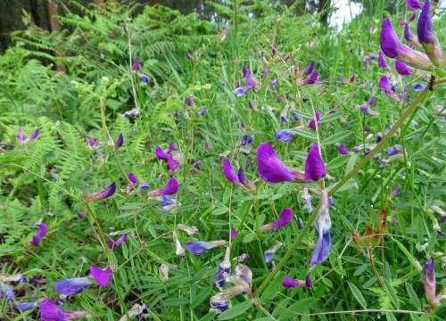 Ervellaca (Vicia sativa)