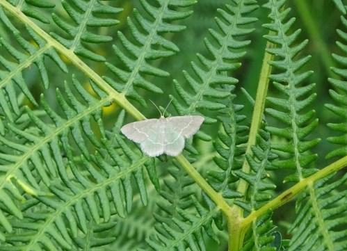 Esmeralda común (Hemithea aestivaria) pousada en fento común (Pteridium aquilinum)