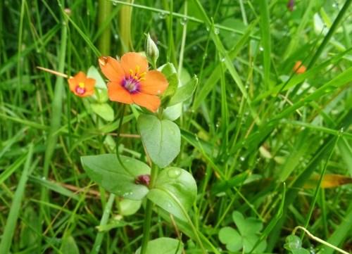 Herba da rabia (Anagallis arvensis)