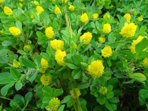 Trevo amarelo (Trifolium campestre)