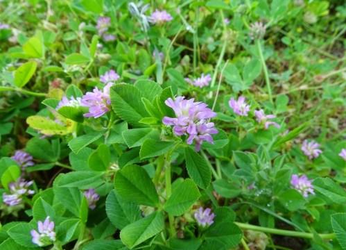 Trevo rubio (Trifolium pratense)