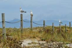 Aves mariñas en Areoso