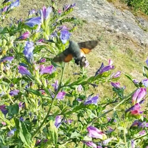 Esfinxe colibrí